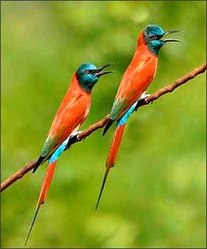 birds the gabia