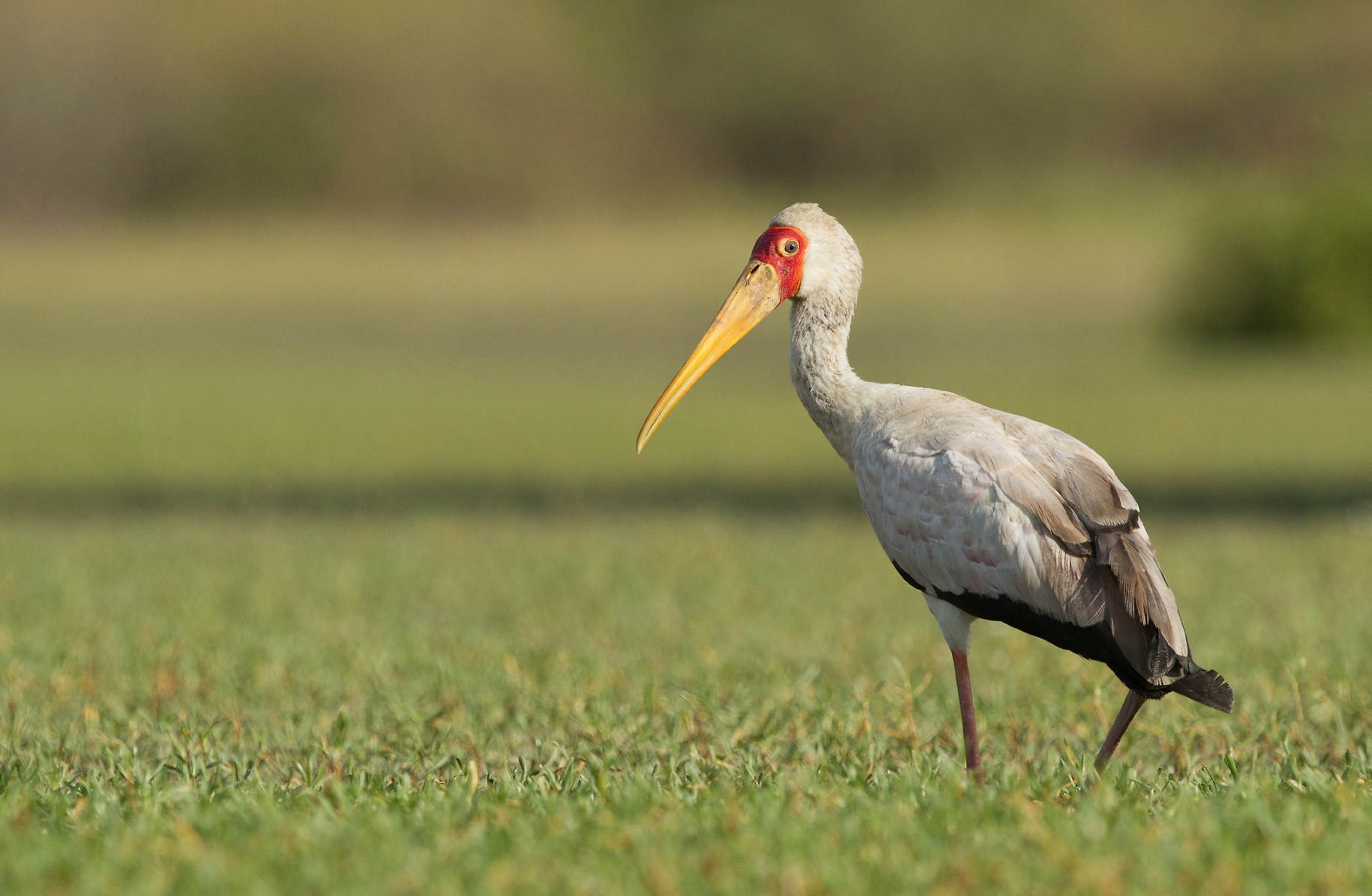 bird The Gambia